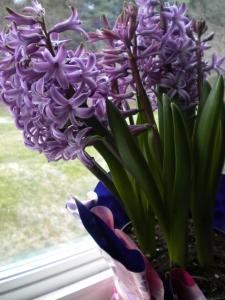 Hyacinths March-11