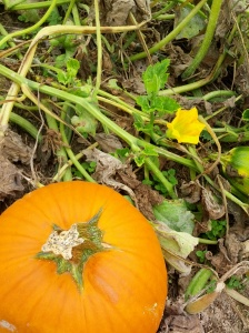 Pumpkins, fresh from the vine...